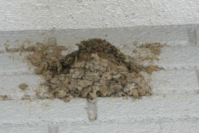 修復中の巣